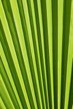 Struttura alta vicina di estremo delle vene di foglia di palma verdi Fotografia Stock