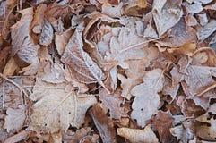 Struttura appassita di gelo dei fogli Fotografie Stock