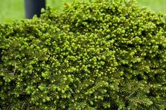 Struttura attillata verde degli aghi del pino nel giardino Fotografia Stock Libera da Diritti