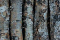 Struttura-betulla di legno corteccia della Fondo-betulla billetta Fotografia Stock