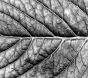 Struttura in bianco e nero astratta della foglia Immagine Stock