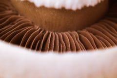 Struttura calda del fungo Priorità bassa fresca del fungo prataiolo Alta cucina fotografia stock