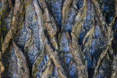 Struttura complessa della corteccia legnosa Fotografie Stock