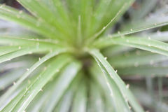 Struttura completa della pianta di vera dell'aloe in conservatorio Fotografia Stock Libera da Diritti