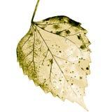 Struttura con le foglie marcie Fotografia Stock