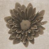 Struttura d'annata quadrata con il crisantemo Fotografie Stock