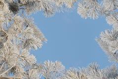 Struttura dalle filiali del pino coperte di hoarfros Immagine Stock Libera da Diritti