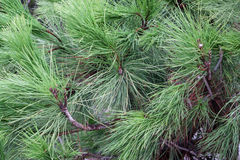 Struttura degli aghi del pino Immagine Stock