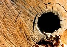 Struttura degli anelli di albero dell'eucalyptus la sezione trasversale Immagini Stock