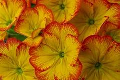 Struttura dei germogli luminosi colorati dei fiori decorativi Fotografia Stock Libera da Diritti