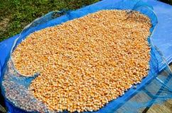 Struttura dei noccioli del seme del cereale Immagine Stock Libera da Diritti