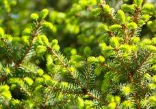 Struttura dei rami verdi dell'abete Tiri dei giovani sull'albero Fotografia Stock