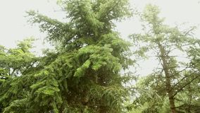 Struttura dei rami verdi dell'abete Tiri sull'albero, giovani tiri verde intenso dei giovani su un grande albero video d archivio