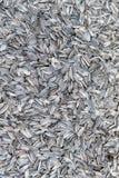 Struttura dei semi di girasole Immagine Stock