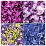 Struttura del collage del Hydrangea Fotografia Stock