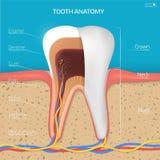 Struttura del dente di vettore Anatomia di sezione trasversale con tutte le parti Immagine Stock