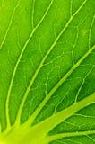 Struttura del foglio dell'insalata verde Fotografie Stock