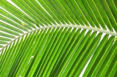 Struttura del foglio della noce di cocco Fotografia Stock Libera da Diritti