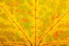 Struttura del foglio di autunno dell'acero Immagine Stock Libera da Diritti