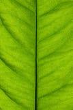 Struttura del foglio pieno di sole verde Fotografie Stock Libere da Diritti