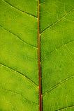 Struttura del foglio verde Fotografia Stock