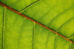 Struttura del foglio verde Immagini Stock