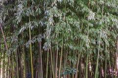 Struttura del fondo dei gambi di bambù e dello spazio verde in priorità alta Fotografia Stock