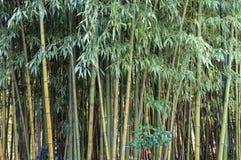 Struttura del fondo dei gambi di bambù e dello spazio verde in priorità alta Fotografie Stock Libere da Diritti