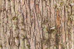 Struttura del fondo della corteccia della quercia Fine in su fotografie stock libere da diritti