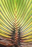 Struttura del fondo della foglia della palma immagine stock