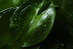 Struttura del fondo della foglia tropicale verde con le gocce di acqua dopo Fotografia Stock Libera da Diritti