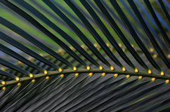 Struttura del fondo delle foglie di palma Immagine Stock