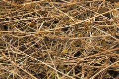 Struttura del fondo di erba secca Immagini Stock
