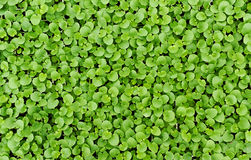 Struttura del fondo di piccole foglie verdi fresche Immagini Stock