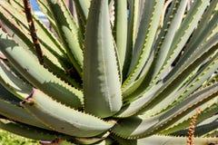 Struttura del fondo di Vera Leaf dell'aloe Fotografia Stock