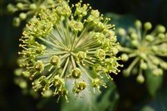 Struttura del fondo del primo piano del fiore dell'edera immagini stock