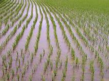 Struttura del giacimento del riso Fotografie Stock