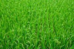 Struttura del giacimento del riso dell'erba verde Immagine Stock
