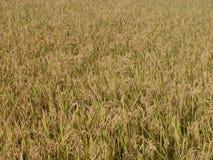 Struttura del giacimento del riso di autunno Fotografia Stock Libera da Diritti