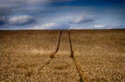 Struttura del giacimento di grano di agricoltura Immagini Stock