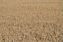 Struttura del giacimento di grano di agricoltura Fotografia Stock Libera da Diritti