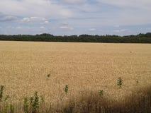 Struttura del giacimento di grano di agricoltura del fieno Fotografie Stock