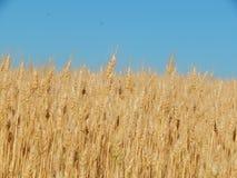 Struttura del giacimento di grano di agricoltura del fieno Fotografia Stock