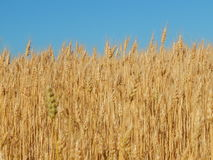 Struttura del giacimento di grano di agricoltura del fieno Immagine Stock
