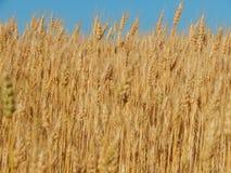 Struttura del giacimento di grano di agricoltura del fieno Fotografia Stock Libera da Diritti