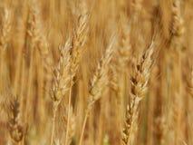 Struttura del giacimento di grano di agricoltura del fieno Fotografie Stock Libere da Diritti