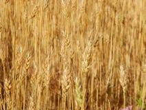 Struttura del giacimento di grano di agricoltura del fieno Immagine Stock Libera da Diritti
