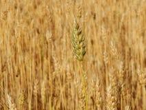 Struttura del giacimento di grano di agricoltura del fieno Immagini Stock Libere da Diritti