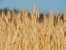 Struttura del giacimento di grano di agricoltura del fieno Immagini Stock