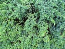 Struttura del ginepro di calce e bluastro di verde Fotografie Stock Libere da Diritti